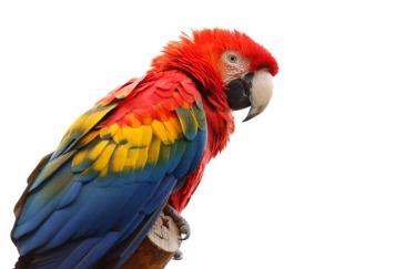 Le perroquet du capitaine