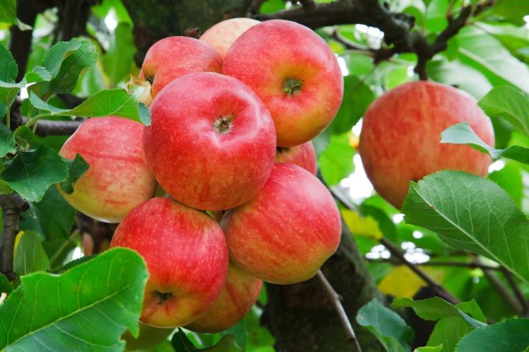 Oh les belles pommes!