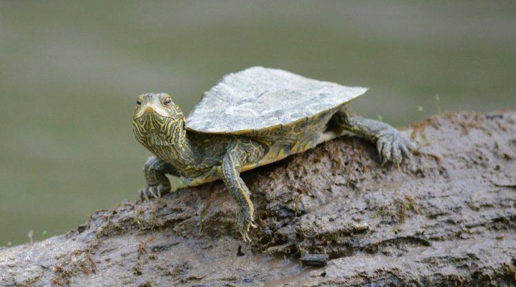 turtle-243732_1920