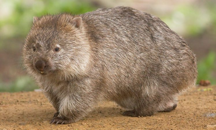Comme un wombat