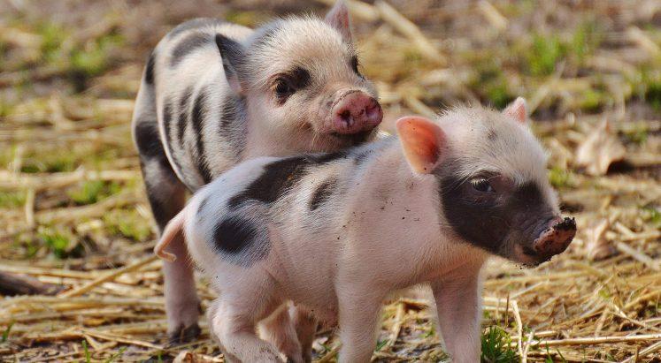Tous des cochons?